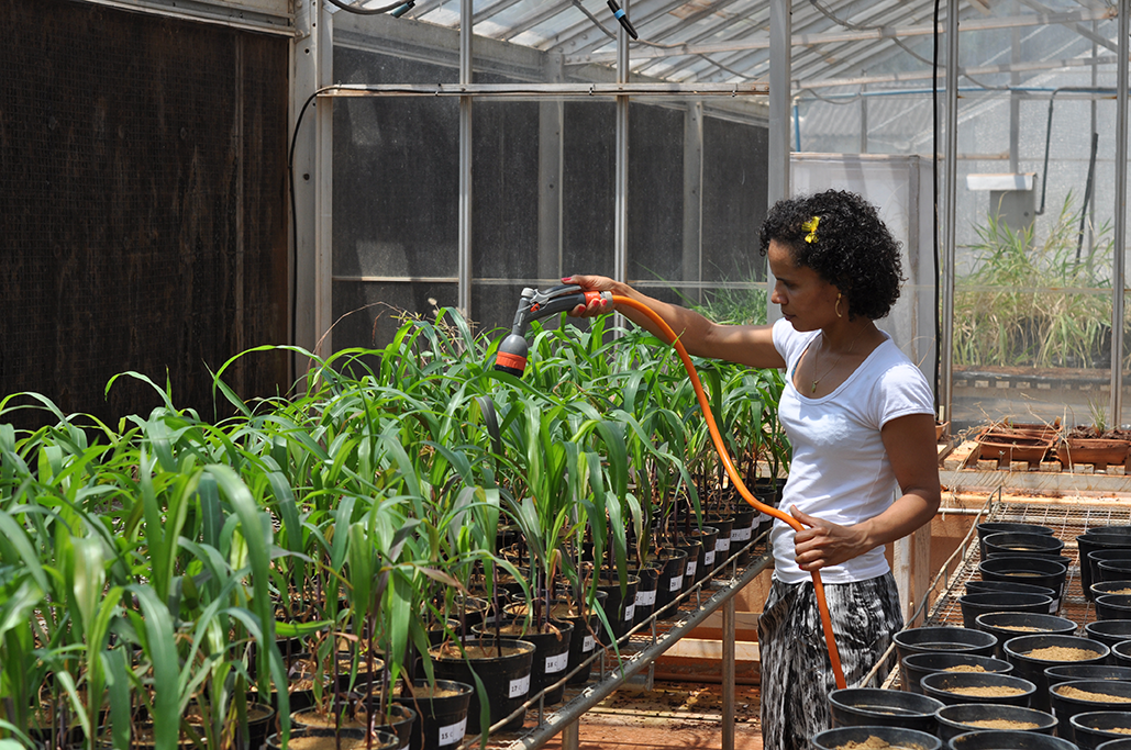 Allanore Greenhouse Corn EMBRAPA.