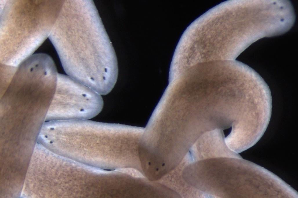 Ascaris regeneráció