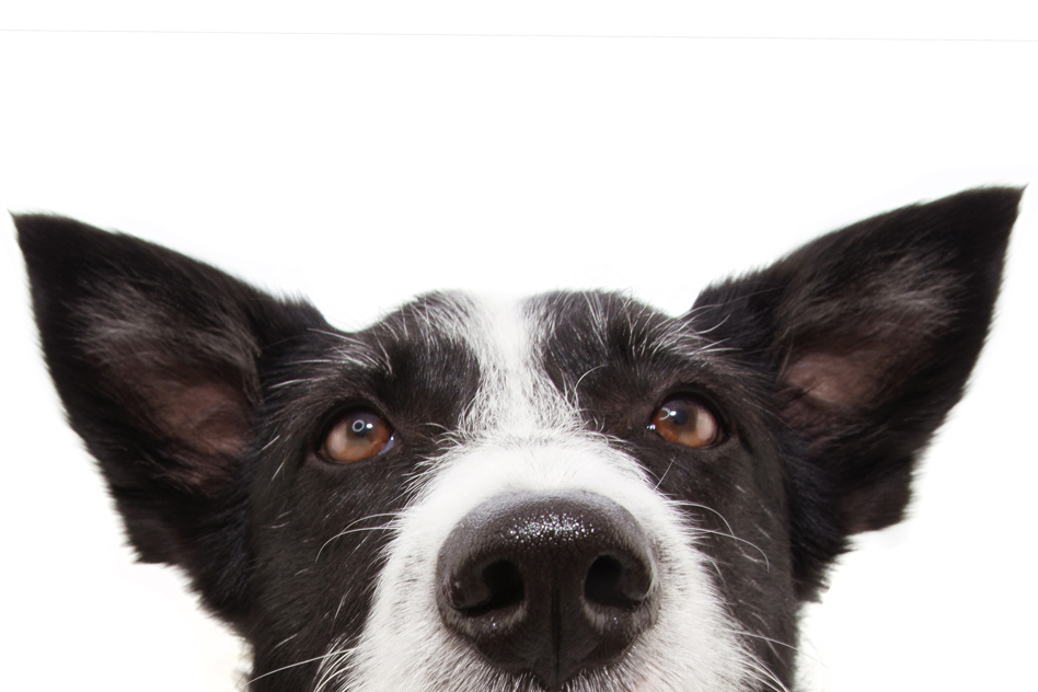 Toward a disease-sniffing device that rivals a dog's nose