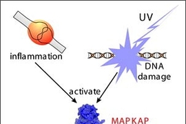 A single molecule, MAPKAP Kinase-2, now seems to be important in controlling both the response of cells to inflammation, as well as their response to certain types of DNA damage. Drugs against MAPKAP Kinase-2 that were originally intended for use as anti-inflammatory agents may find new uses as cancer-treatment agents.