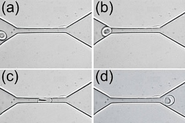 "An experimental in vitro demonstration of the ""fluidization"" of a healthy human red blood cell through a microfliuidic channel at room temperature. The series of images shows how the shape of a red blood cell changes as it is squeezed through a 4 micron by 4 micron channel."