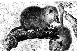 Scientists at the Broad Institute, in completing the genome sequence of the opossum, have found that so-called junk DNA may play a creative role in evolution.