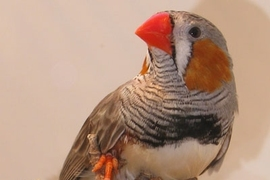 An 'in-house' image of an adult male zebra finch.