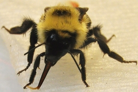 Researchers find bees get the sweetest nectar by dipping their tongues into the viscous syrup. Pictured is a bumblebee drinking from a sucrose-soaked surface.