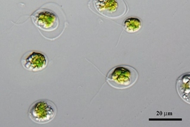 Scientists discovered an opsin sensitive to red light in this algae, called Chlamydomonas noctigama.