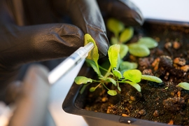 The researchers infuse the leaves of an Arabidopsis thaliana plant with nanoparticles.