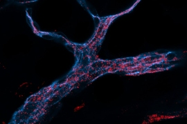 MIT engineers designed RNA-carrying nanoparticles (red) that can be taken up by endothelial cells (stained blue).