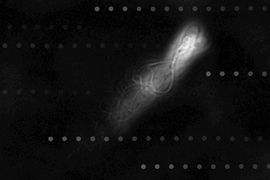 Superimposed photographs of a human sperm cell swimming upstream along the wall of a microfluidic channel, with overlaid virtual tracer particles indicating the flow direction.