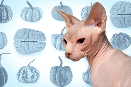 Why do layered materials form one kind of wrinkly pattern or another? MIT associate professor of mechanical engineering Xuanhe Zhao and postdoc Qiming Wang describe a patterning process that applies to everything, including folds of the brain, wrinkles on a cat, or the ridged skin of pumpkins.