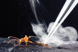 Bombardier beetles eject a liquid called benzoquinone, which they superheat and expel in an intense, pulsating jet. The explosive mechanism used by the beetle generates a spray that's much hotter than that of other insects that use the liquid, and propels the jet five times faster.