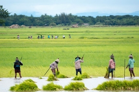A group of Burmese woman grow rice on a rice paddy. A new study indicates that agriculture in Mynamar and other countries will experience substantial productivity declines in the next 30 years due to climate change.