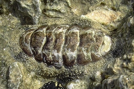 A chiton, measuring about 5cm.
