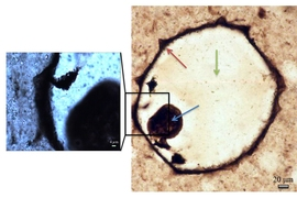 Optical micrographs of a protist fossil from silicified coastal carbonates. Raman mapping was carried out at low magnification over the full fossil (right), and at high magnification (left). Cell walls, collapsed cell contents, and quartz infilling cement are indicated by the red, blue and green arrows, respectively.