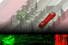 A new microfluidic device that replicates the neuromuscular junction — the vital connection where nerve meets muscle — contains a small cluster of neurons (green) and a single muscle fiber (red). A fluorescence image, bottom, shows the motor neurons sending out axons toward a muscle strip over a distance of about 1 millimeter.