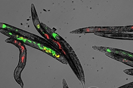 After feeding C. elegans worms an equal mix of bacteria that express either red or green fluorescent protein, MIT researchers found that the microbial populations in the worms' digestive tracts tend to become dominated by one or the other.