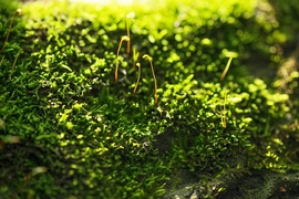 Researchers have discovered how moss and green algae can protect themselves from too much sun.