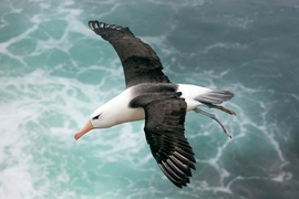 Engineers at MIT have developed a new model to simulate dynamic soaring, and have used it to identify the optimal flight pattern that an albatross should take in order to harvest the most wind and energy. They found that as an albatross banks or turns, it should do so in shallow arcs, keeping almost to a straight, forward trajectory.