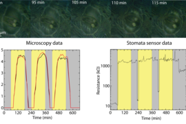 Top: Set of microscope images showing two micropillars aligned on top of a stoma. The stoma opens in response to white light illumination (t = 60 min). Bottom: Optically measured stomata aperture dynamics for a stoma in three consecutive white light on/off cycles and simultaneous resistance dynamics.