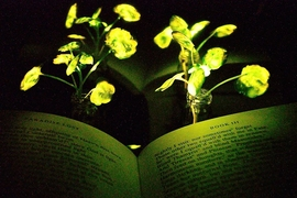 "Illumination of a book (""Paradise Lost,"" by John Milton) with the nanobionic light-emitting plants (two 3.5-week-old watercress plants). The book and the light-emitting watercress plants were placed in front of a reflective paper to increase the influence from the light emitting plants to the book pages."
