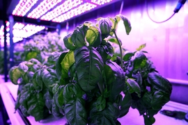 Researchers in MIT's Open Agriculture Initiative grow basil under controlled environmental conditions to study how taste and other features are affected.