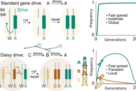 A standard CRISPR-based gene-drive system cuts the wild-type chromosome in the reproductive cells of each generation, causing its own DNA to be copied and ensuring that it will be inherited. Because it has everything it needs to favor itself, it can spread indefinitely through all connected populations. In contrast, a daisy-chain drive system has several components linked such that each copies the...