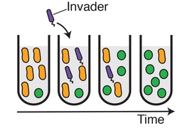 MIT physicists have shown that introducing a transient invader (purple) into a population of bacteria can provoke the system to switch from one stable state (in which the yellow bacteria are dominant) to an alternative stable state, in which green becomes dominant.