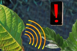 MIT chemical engineers have designed a sensor that can be embedded into plant leaves and measure hydrogen peroxide levels, which indicate that damage has occurred. The signal can be sent to a nearby smartphone.
