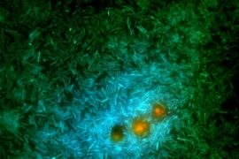 A glimpse into the microscale world in the ocean: marine bacteria (green and cyan) feed on nutrients exuding from a genetically modified phytoplankton (orange). These bacteria release a substance called DMS that contributes to cloud formation.