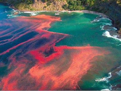 The dramatic appearance of a red tide algal bloom at Leigh, near Cape Rodney, New Zealand.