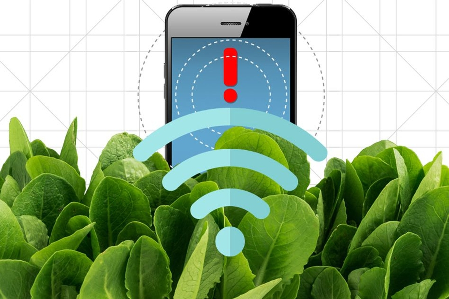 By embedding spinach leaves with carbon nanotubes, MIT engineers have transformed spinach plants into sensors that can detect explosives and wirelessly relay that information to a handheld device similar to a smartphone.