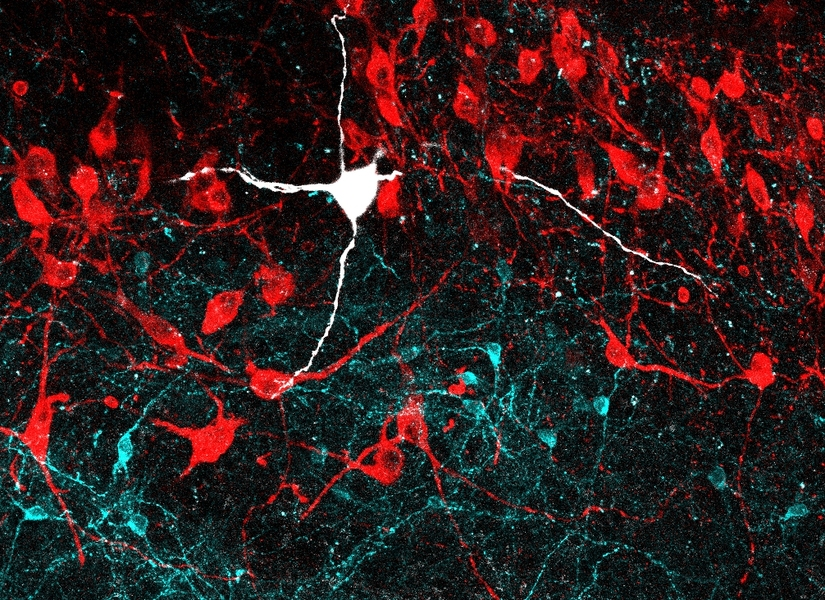 This confocal microscopy image of the locus coeruleus region of the mouse brain displays noradrenergic neurons in red and GABAergic neurons in cyan. A noradrenergic neuron recorded in the study is highlighted in white.