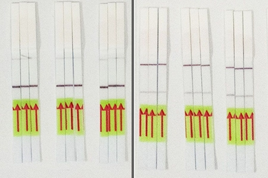 Results of the STOPCovid test appear as a single or double line on a paper strip akin to a pregnancy test. In this photo, test strips showing a single line (left panel) indicate no infection. Test strips revealing double lines (right panel) indicate the presence of the virus.